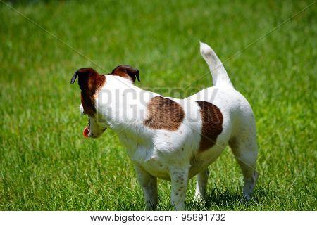 Jack Russell Terrier in Yard Looking to Side