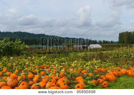 Pumpkins waiting to be picked