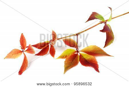 Multicolor Autumnal Grapes Leaves