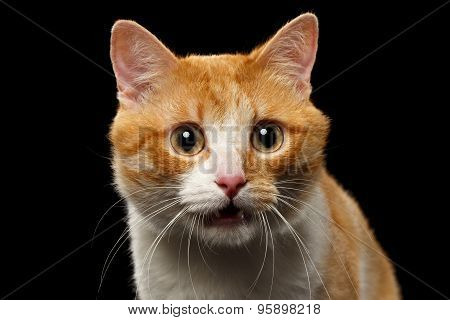 Closeup Surprised Ginger Cat With Opened Mouth On Black