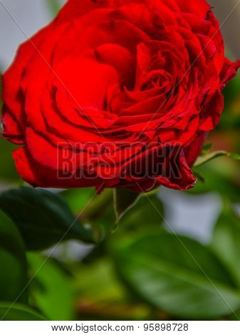 Macro Heart Of Red Rose Close-up With Its Petals