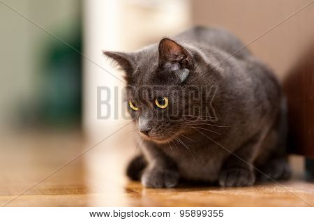 Grey Chartreux cat with yellow orange eyes