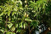 foto of mango  - A lot of bunch of Green Mango Hanging on a Mango Tree - JPG