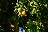 picture of mango  - A lot of bunch of Green Mango Hanging on a Mango Tree - JPG