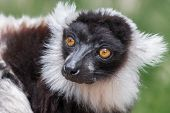 picture of stare  - Close up head portrait of a ruffed lemur with staring eyes looking slightly to left - JPG