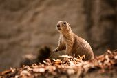 stock photo of gopher  - Close Up of a Gopher running around  - JPG