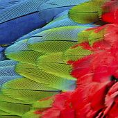 stock photo of green-winged macaw  - Beautiful nature background texture of Greenwinged Macaw feathers pattern - JPG