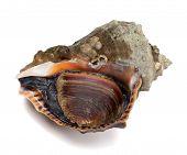 foto of mollusca  - Veined rapa whelk isolated on white background - JPG