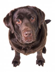 image of labrador  - Chocolate labrador dog girl is isolated on the white background - JPG
