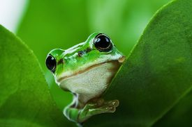 stock photo of cute frog  - Cute little green tree frog peeking out from behind the leaves - JPG