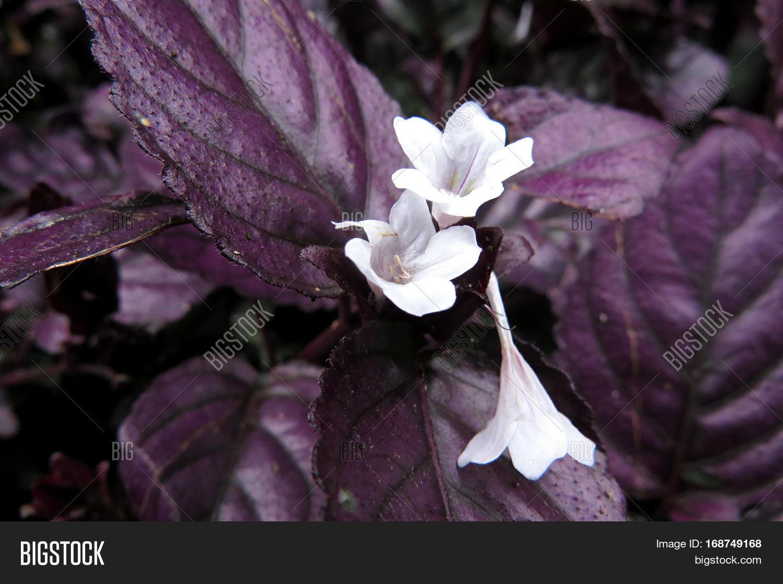 Hemigraphis Alternata Metal Leaf Ground Cover Foliage Purple Leaves White Flowers