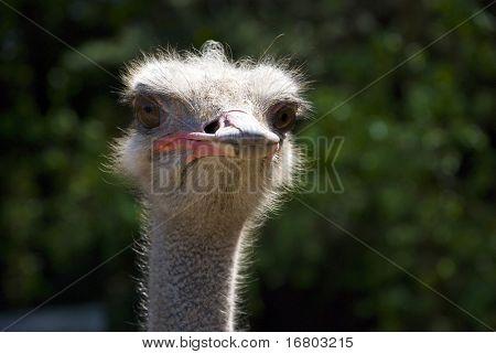 ostrich portrait, big size