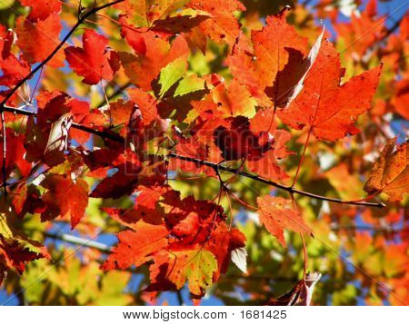 Soft Red Maple Leaves Fall