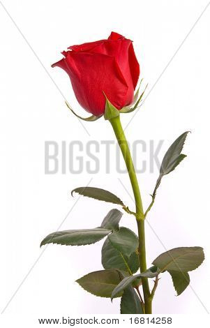 Red rose on a studio white background