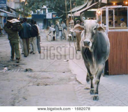 Cow In The Marketcropped