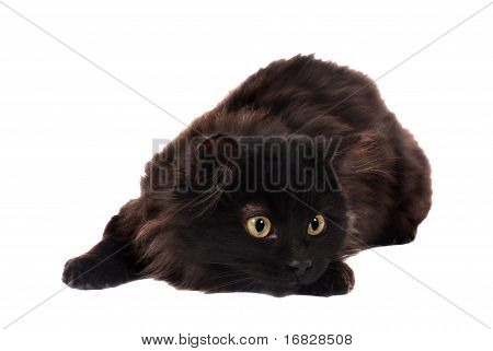 Black Playful Kitten