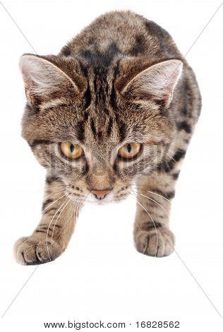 Stalking Tabby Kitten