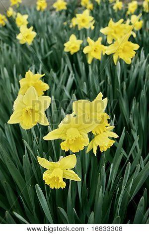 Narcissus poeticus (Amaryllidaceae)