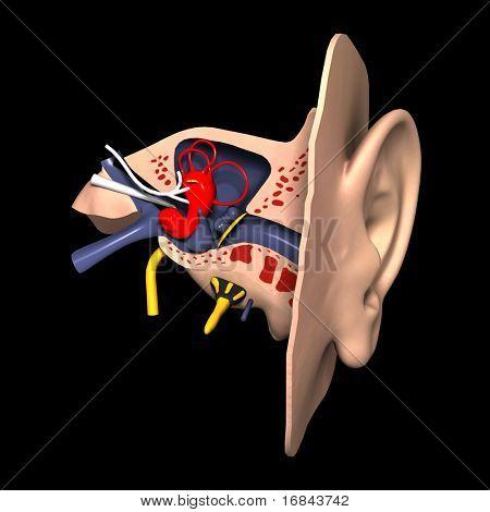3d model of Ear