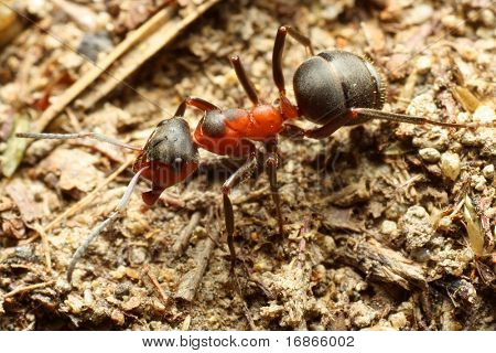 Red Ant worker - closeup