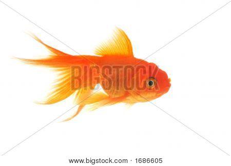 Belo peixinho