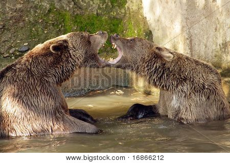 Brown Bear (Ursus arctos) in National Park Bavarian Forest - Germany Europe