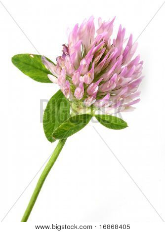 Trifolium pratense. It has also been reported that red clover can be used for therapeutic purposes for coughs, bronchitis, eczema, sores, scrofula and can be gargled for mouth ulcers and sore throats.