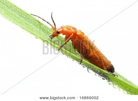 Beetle on a wet leaf - isolated on white background