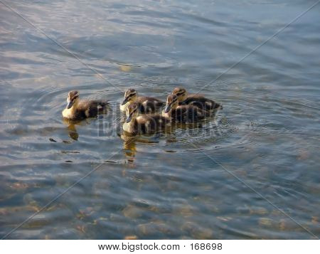 Young Ducklings2