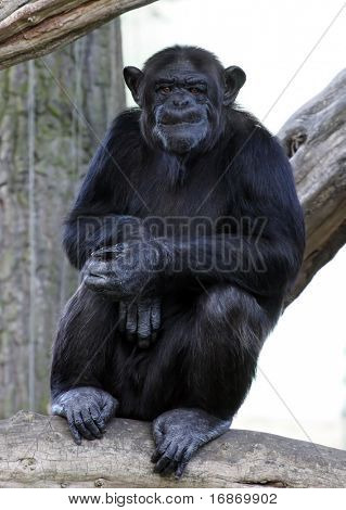 Portrait of a adult chimpanzee in Zoo Pilsen - Czech Republic - Europe