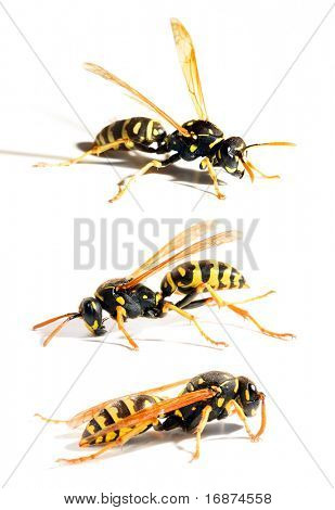 Collection of a live Yellow Jacket Wasps in different position on white background
