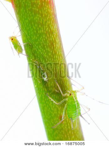 Green aphids on rose footstalk - unwelcome vermin in garden.