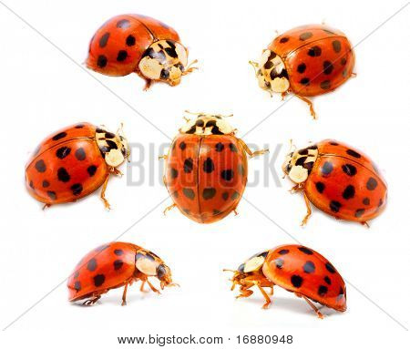 Ladybugs (Coccinella septempunctata) on a white background. Macro shot with shallow dof.