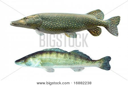 Two predatory fish Pike (Esox Lucius) and Pikeperch (Sander Lucioperca).