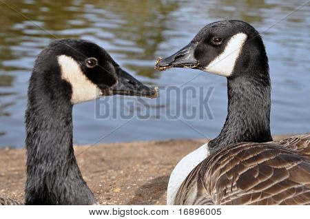 Two Canadian Branta Gooses