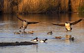 stock photo of duck-hunting  - A pair of Canadian Geese touch down at their roosting site in warm early evening light in the UK - JPG