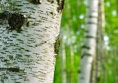 picture of birchwood  - Birch forest - JPG