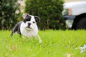 Bulldog puppy. A beautiful black and white bulldog puppy plays, runs, and jumps in fresh green grass poster