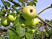 foto of apple orchard  - apple on branch - JPG