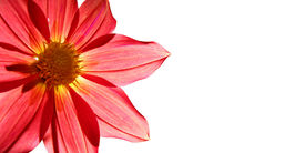 stock photo of single flower  - picture postcard with flower of the dahlia on white background - JPG