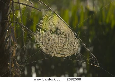 Spider Web In The Reeds