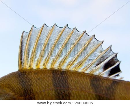 Dorsal fin of a perch - looks like punk's mohawk!