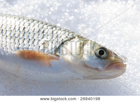 Fresh fish on ice, strong sunlight on its scales