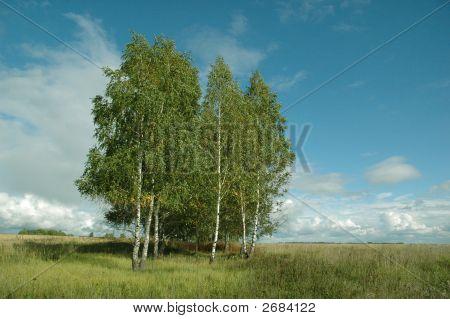 Birches In A Field