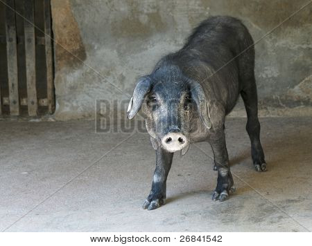 Iberian pig in stall - black breed used for making top quality jamon