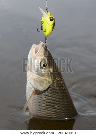 Chub caught on a green hardbait pulled out of water