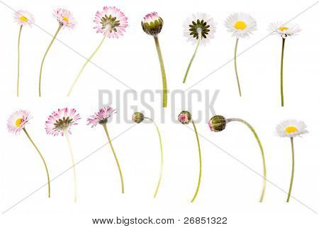 White and pink Daisy isolated on white