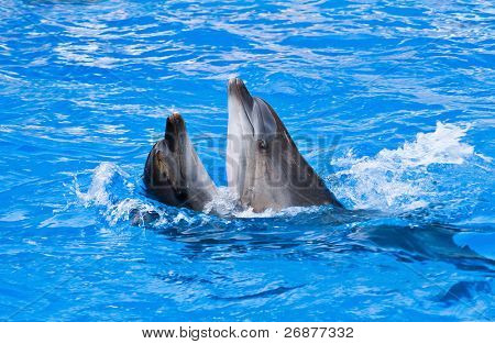 Couple of dolphins dancing in dolphinarium