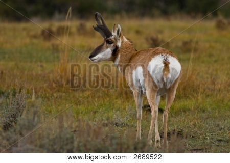 Pronghorn Antelope, Antilocapra Americana, Yellowstone National Park, Wyoming