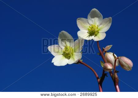 Hellebore Flowers With Blue Sky